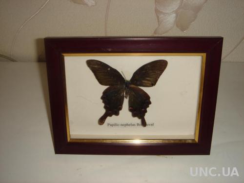 Продам бабочка Papilio nephelus Boisduval.