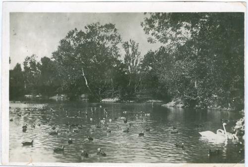 Аскания-Нова Пернатое население на пруду зоопарка 1936 год Днепропетровская область Фото Открытка