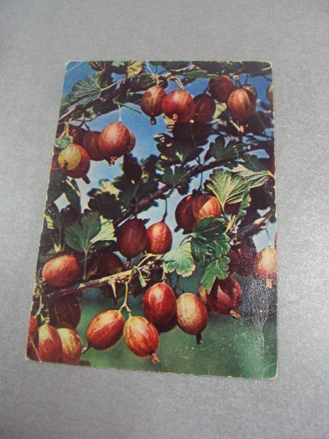 открытка крыжовник русский ривиной 1969 №4424