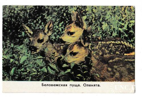Календарик 1977 Природа, Беловежская пуща, оленята, Беларусь