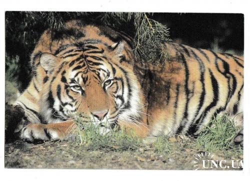 Календарик 1997 Фауна, тигр