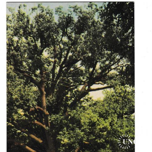 Открытка Запорожье, 300-летний дуб 1969