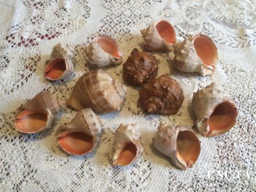 Ракушки рапаны морские ракушка (12шт)