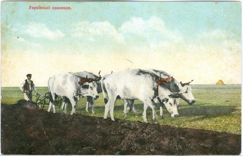 Малороссия Украинские типы и краевиды № 8334 Изд Гранберг Коровы Украина