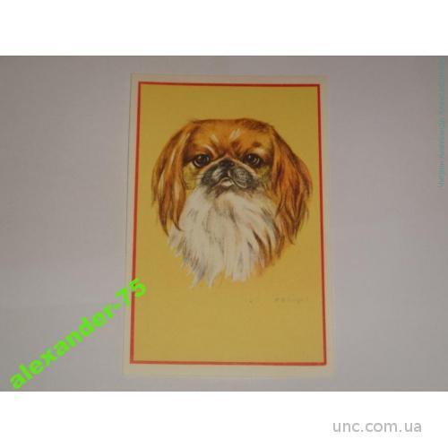 Собака.Пекинес.