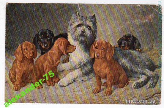 Собаки.Таксы.Милые щенки.