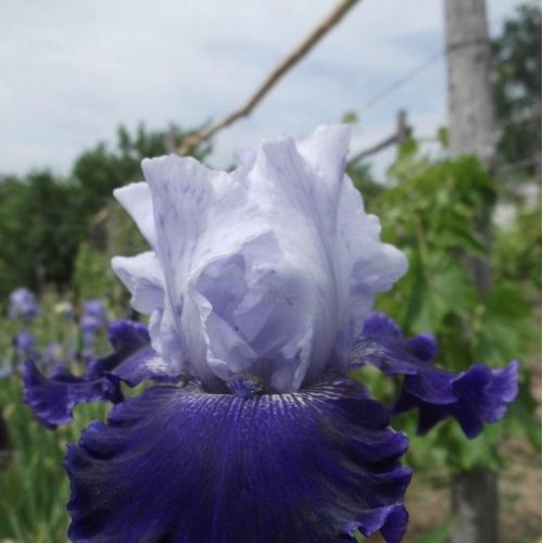 Ирис World Premier гофрированный, высокий, сортовой. Цветы, растения. Садовые цветы
