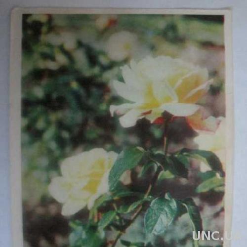 Поздравляю! Розы фото Кропивницкого 1967 год