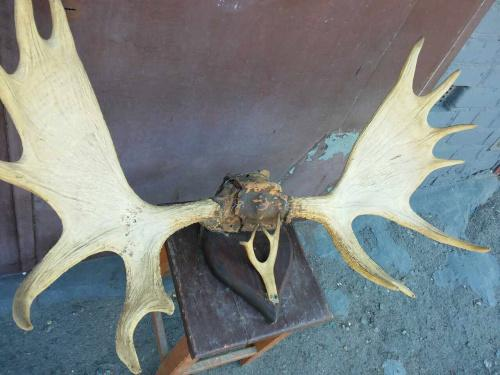 Рога Лося (вес 15 кг)