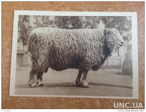 Старинная открытка Москва. Сельскохозяйственная выставка  Баран №196