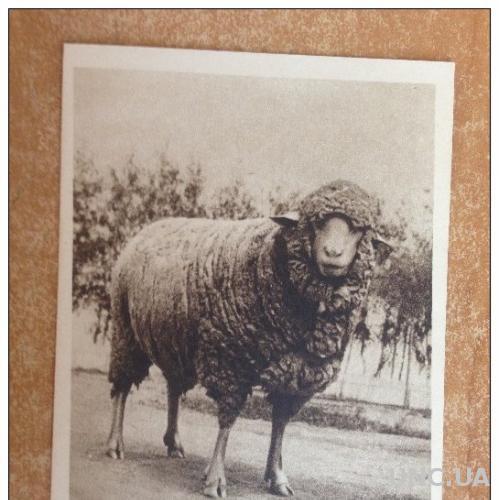 Старинная открытка Москва  Сельскохозяйственная выставка  Овцематка №1925