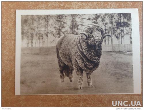 Старинная открытка Москва. Сельскохозяйственная выставка Баран №1691 Чемпион